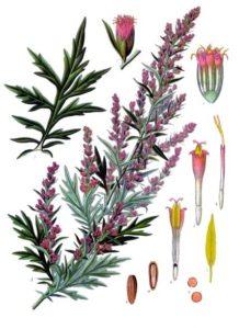 Mugwort - Artemisia vulgaris (wikipedia image)